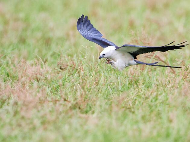 Species Spotlight: Swallow-tailed Kite