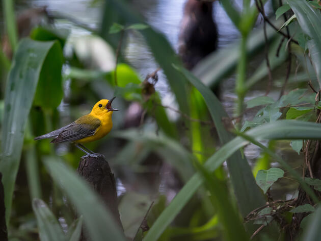 The spring return of Prothonotary Warblers to Beidler Forest